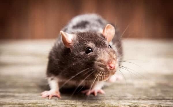 5 Signs You Have A Rodent Control Problem
