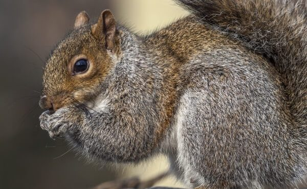 Do You Have Squirrels Living In Your Attic?