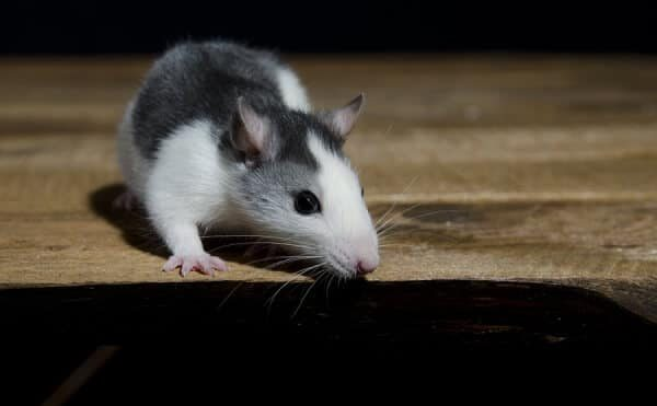 Do You Have A Rat Problem In Your Attic?