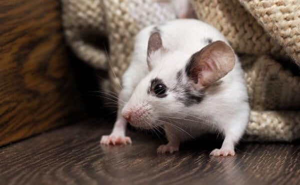 Asthma & Allergies: Are Rodents To Blame?
