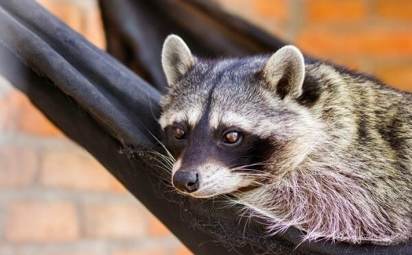 Signs You Might Have Raccoons In Your Attic