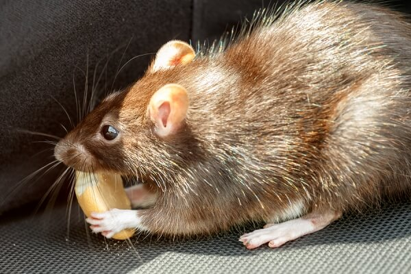 Steps To Rodent Proof Your Attic - Atticare