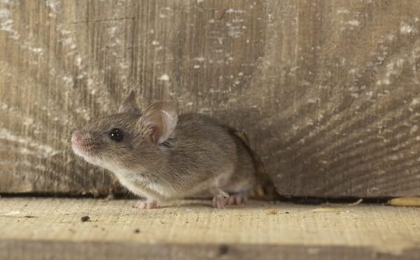 Understanding The Importance Of Rodent Proofing Your Attic