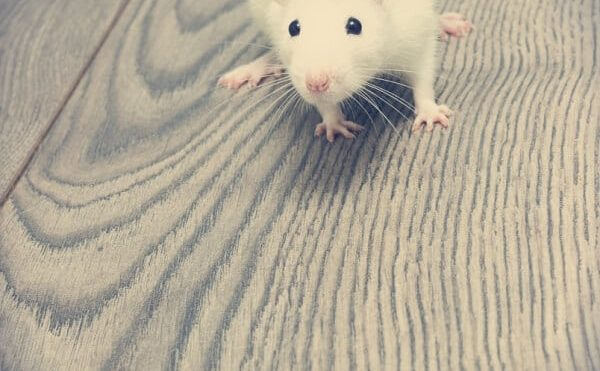Health Dangers Of Rodents In Your Attic