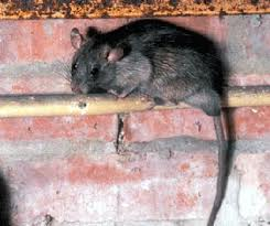 rat in attic