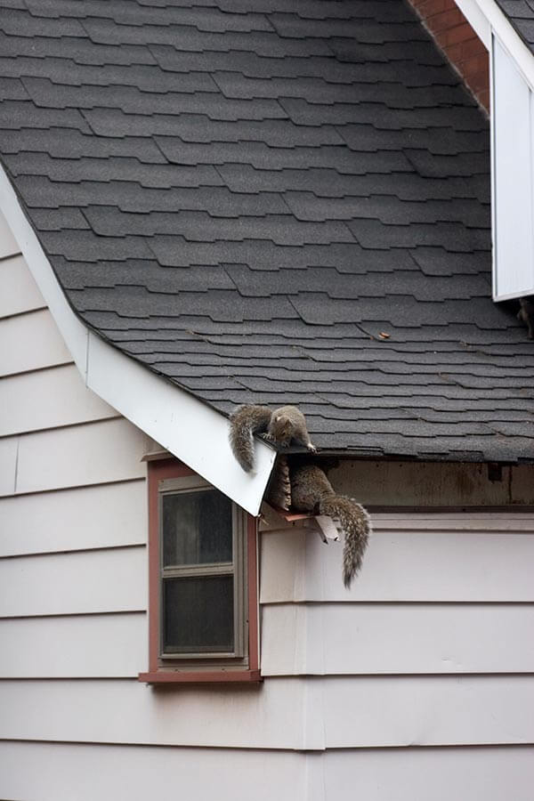 squirrels-on-the-roof-New-Jersey-Atticare