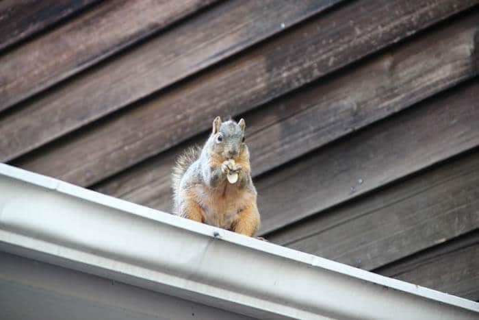 Squirrel on the roof- Wallington, NJ- Atticare
