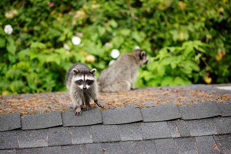 Raccoons on the Roof - Atticare