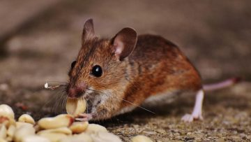Rat in the Attic? Read This Before You Call Pest Control