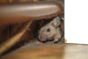 Rodent-in-home--New-Jersey--Atticare