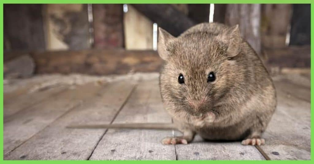 5 Proven Steps to Get Rid of Mice in your Attic